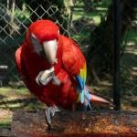 Guacamayas (Ara rouge)